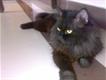 persian female black cat . doll face