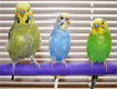 Austrailian pied and budgies for sale