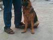 show quality german shepherd female puppy for sale