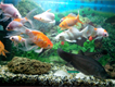 2.5...1.5fish aquarium brand new conditions with almost 20 fishes