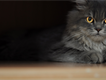 Ash-Grey with gold eyes Pure persian female cat looking for a home