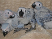 African Grey parrots and Eggs available for sale