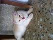 Persoan kitten