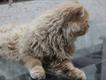 Persian Cat Pair