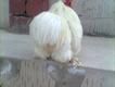 white bentom male