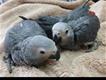Fertile Eggs and Chick Parrots for sale