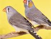 finches 50pairr