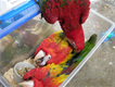 Pair and fresh Scarlet Macaw eggs with Incubators