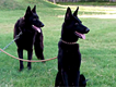 rare breed show class black german shepherd pair for sale urgent on cheapest rate