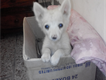 russian dog pure white for sale