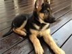 3 month german sherpherd female