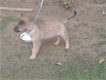 german shapherd puppy for sale