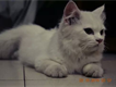 cute persian kitten