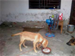 very rare breed superb quality short tail pure labrador female puppy on cheap and urgent