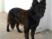 rare breed giant size black german shepherd male for urgent sale