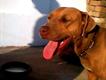 red nose show quality breeder pitbul femlae for urgent sale