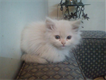 Snow White persian kittens