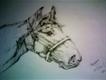 Pencil Sketch Stallion Horse