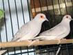 White Tail Breeding Pair Doves