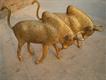 Antique Spanish Bulls of Brass